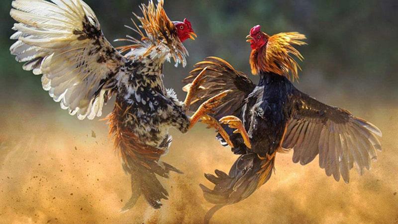judi online sabung ayam tempat berkumpul pecinta ayam aduan